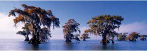 Bald Cypresses، دارتالاب،سرو مرداب