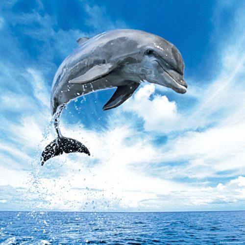 پازل مربعی دلفین 1000 تکه heye