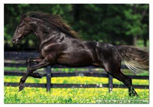 پازل 500 تکه اسب سیاه