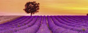 Ravensburger 15068- 1000 pcs - Fragrant lavender - Panorama